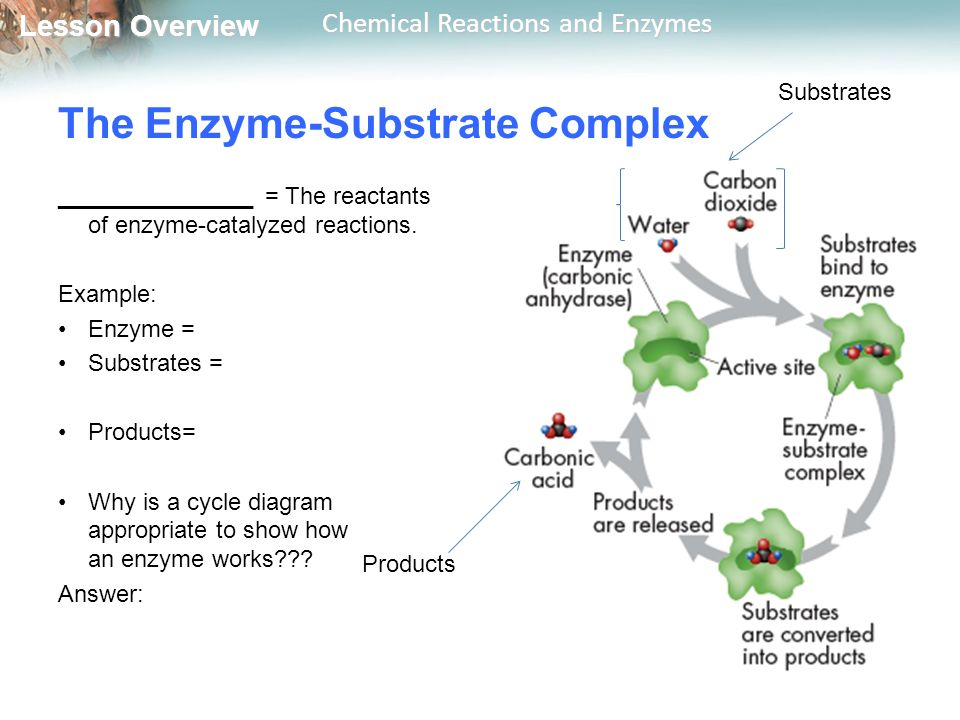 The Enzyme-Substrate Complex