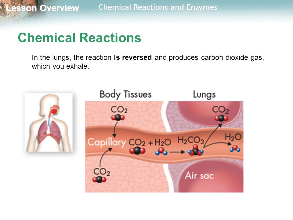 Chemical Reactions In the lungs, the reaction is reversed and produces carbon dioxide gas, which you exhale.