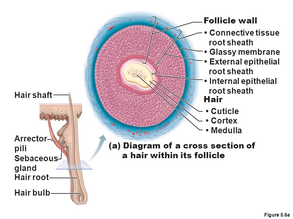 Skin And Hair Follicle Research Paper Writing Service
