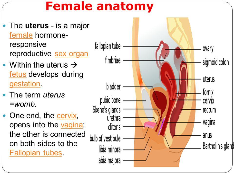 Female anatomy uterus
