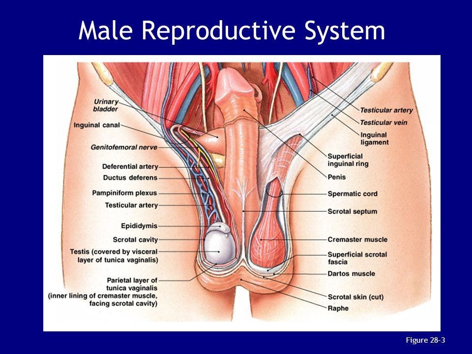 Chapter 28: The Reproductive System - ppt download