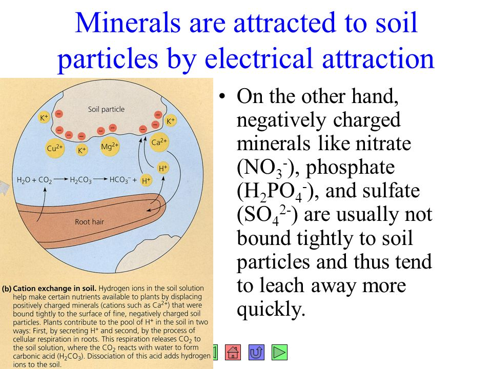 Chapter 37 plant nutrition fig ppt download for What are soil minerals