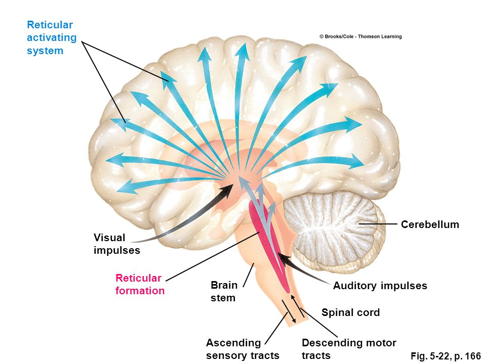 Reticular activating system anatomy 7625608 - follow4more.info