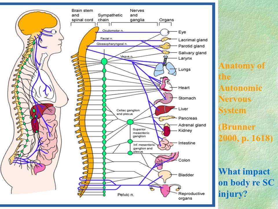 Autonomic nervous system anatomy