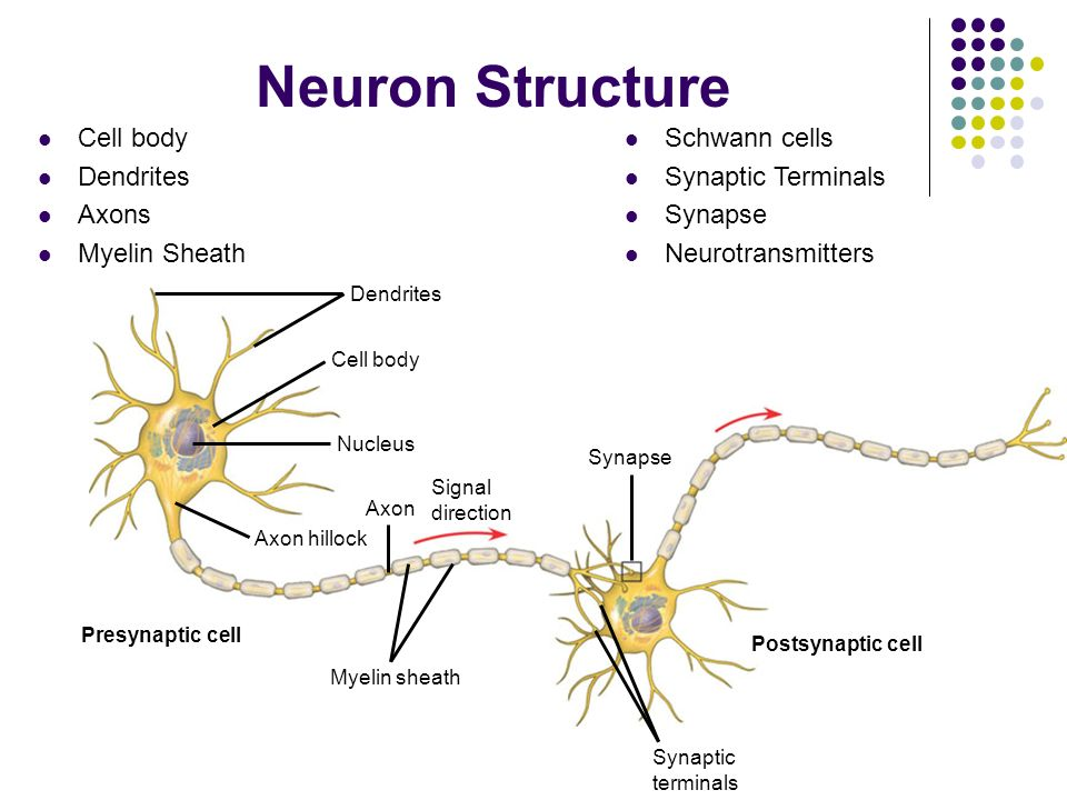 neuron cell body from - photo #19