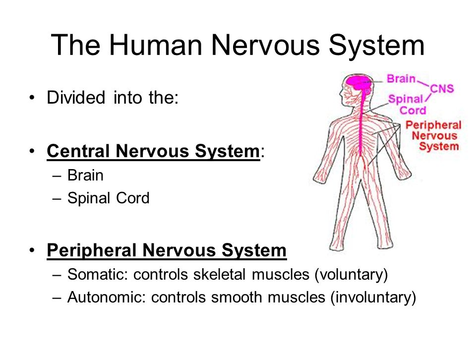 central nervous system movement of muscles Muscles & nerves dr drjohnson,  it is often opposed by antagonists which can stop the movement  central nervous system.