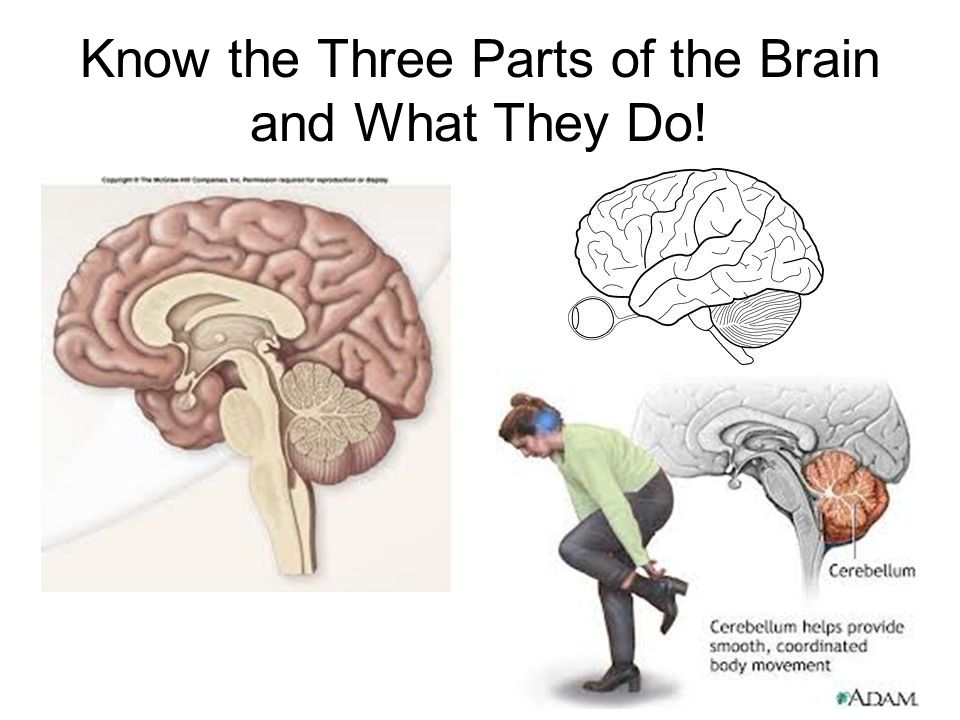 Parts Of The Brain And What They Do Regulation of Body Pro...