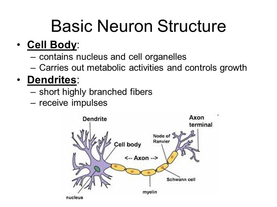 Regulation of body processes ppt download basic neuron structure ccuart Images