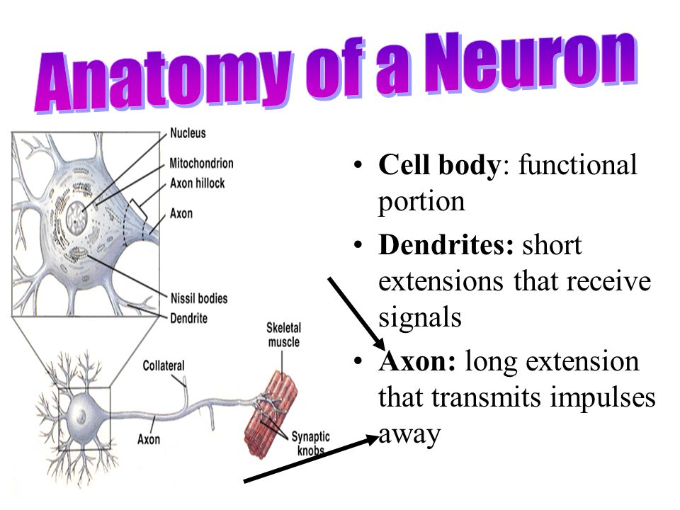 Nervous System Ppt Video Online Download