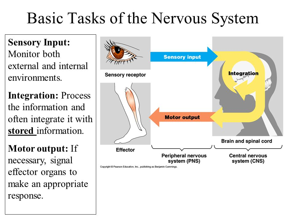 sensory motor and integrative systems Start studying chapter 16 sensory, motor and integrative systems learn vocabulary, terms, and more with flashcards, games, and other study tools.