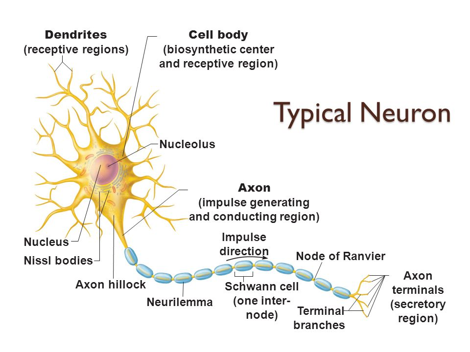 The nervous system i the spinal cord and spinal nerves for What are internodes