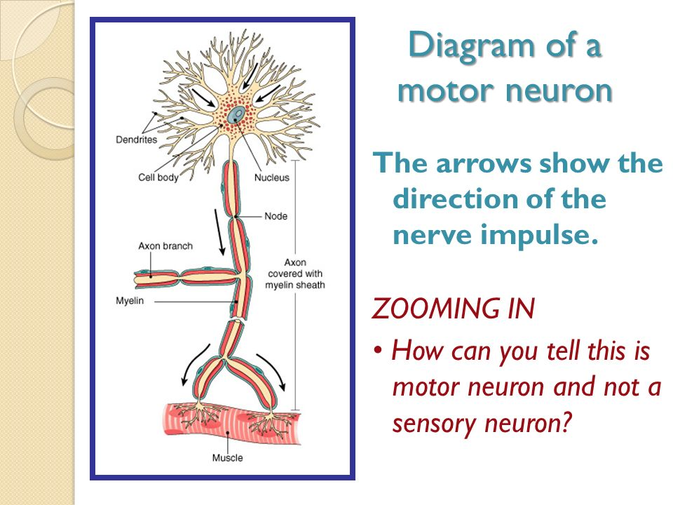 neurophysiology of nerve impulses