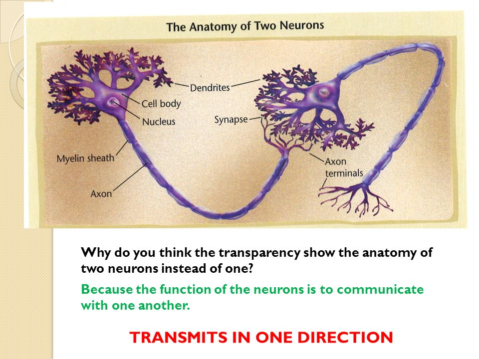 Modern Anatomy Of Two Neurons Collection - Human Anatomy Images ...