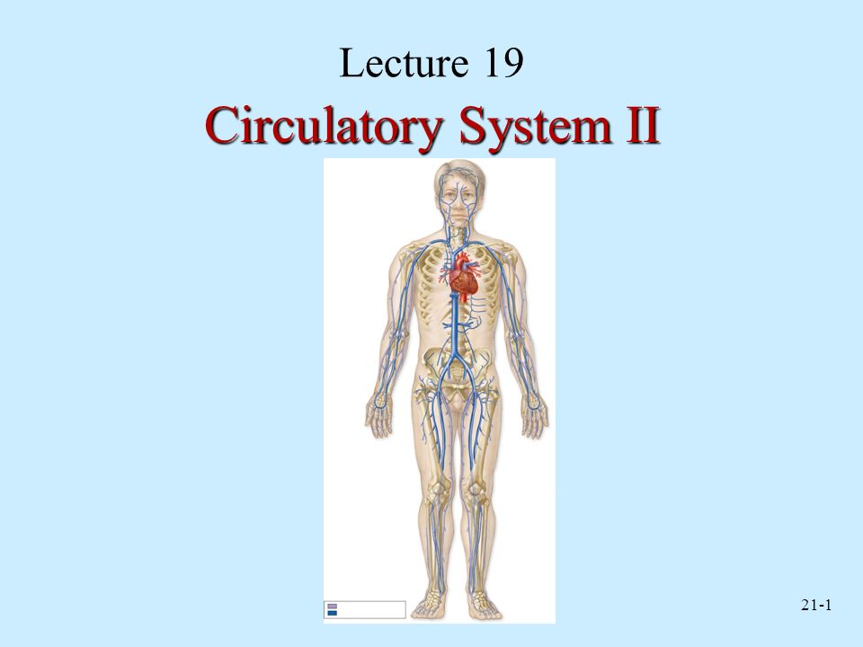 Lecture 19 Circulatory System II