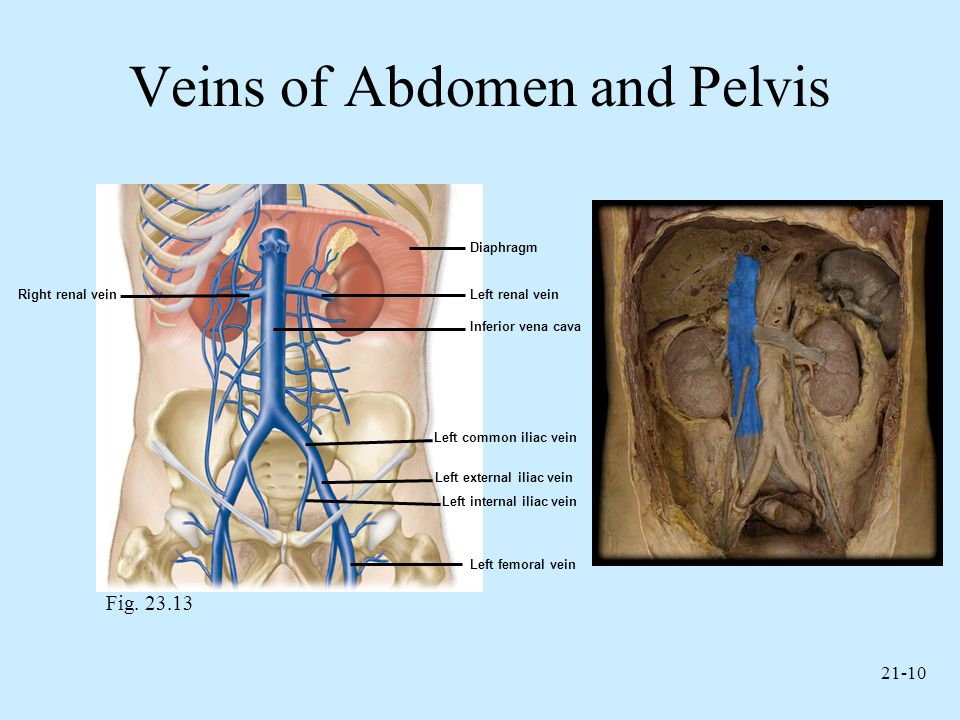 Veins of Abdomen and Pelvis