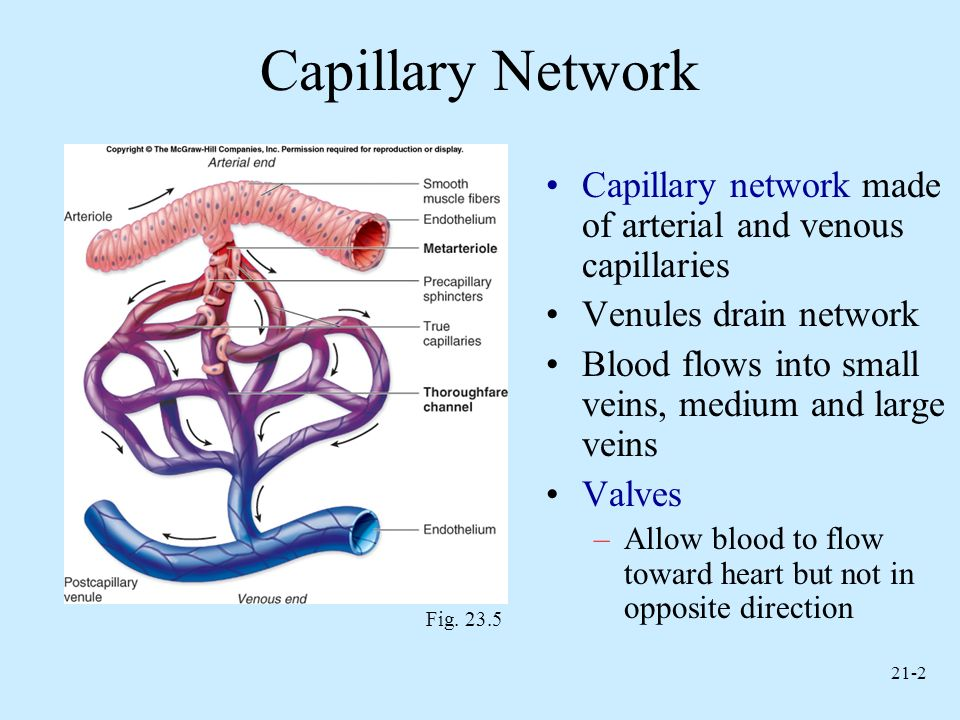 Capillary Network Capillary network made of arterial and venous capillaries. Venules drain network.
