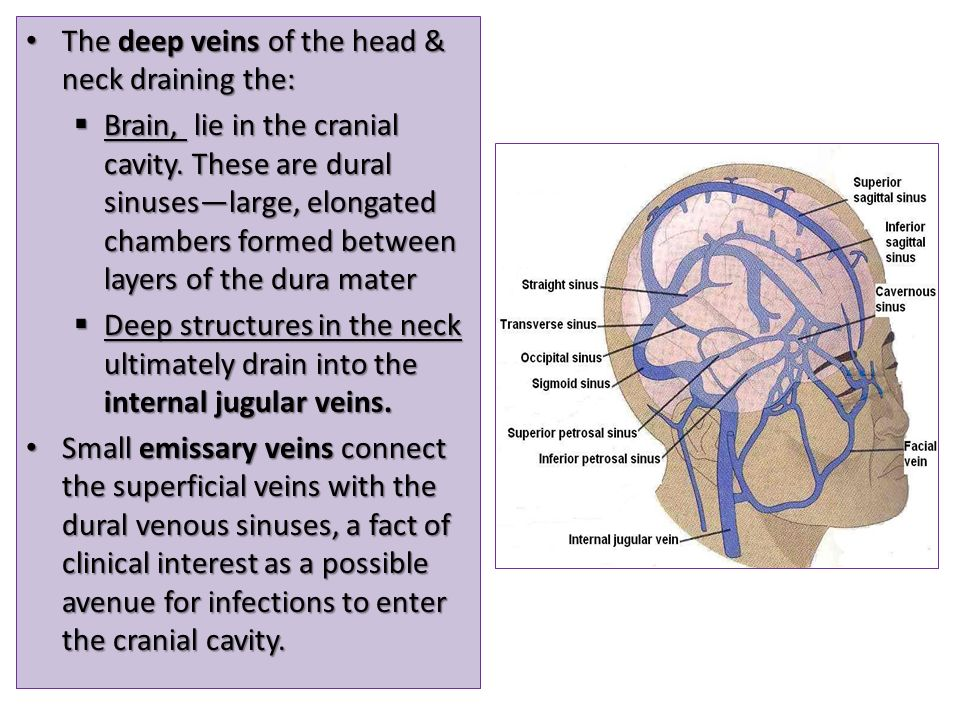 The deep veins of the head & neck draining the: