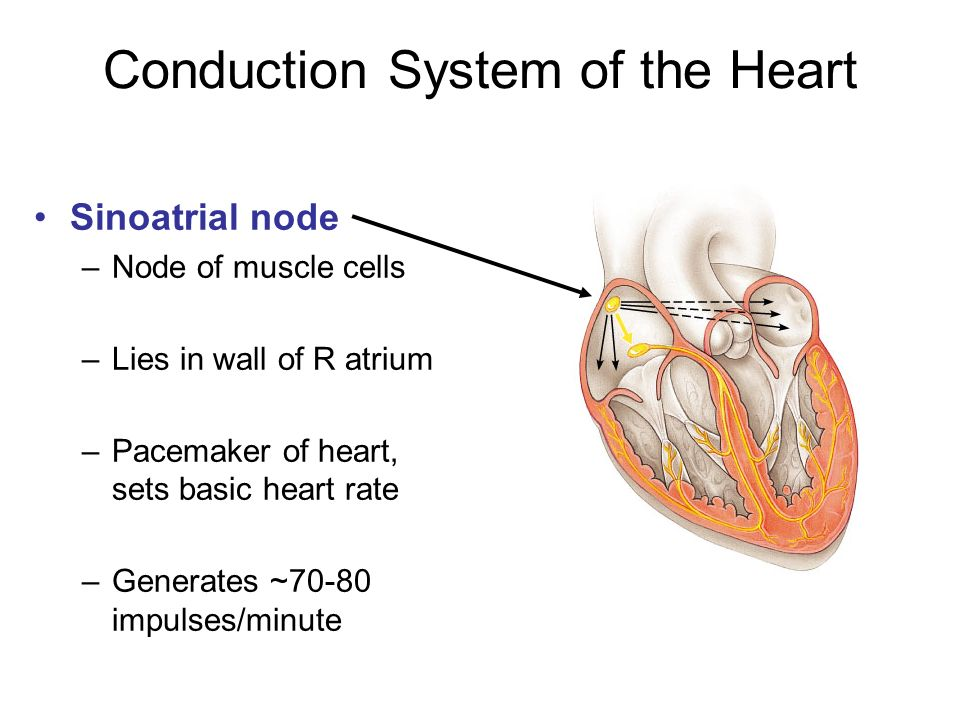 Lab 5: The Heart and Blood Histology - ppt video online download