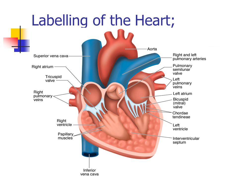 Gcse physical education ppt download labelling of the heart ccuart Image collections