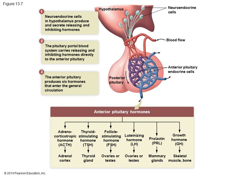 pituitary and adrenal glands relationship