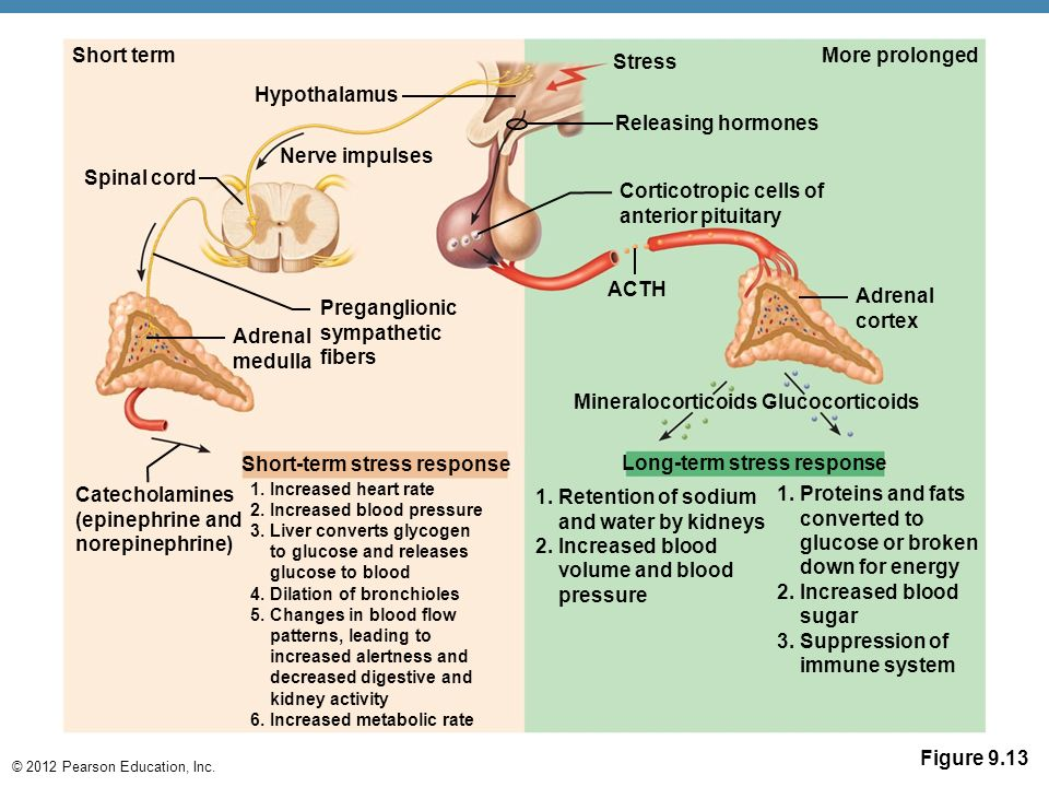 Short Term Stress : The endocrine sytem second controlling system of body