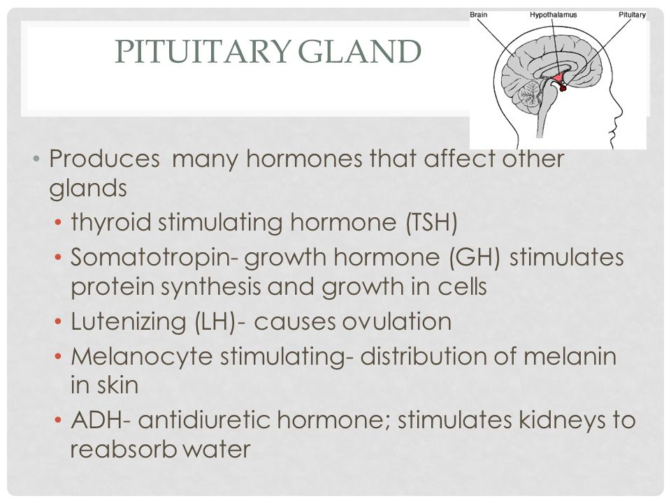 Pituitary gland Produces many hormones that affect other glands