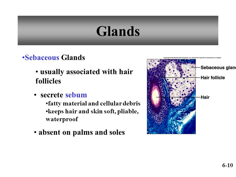 Glands Sebaceous Glands usually associated with hair follicles