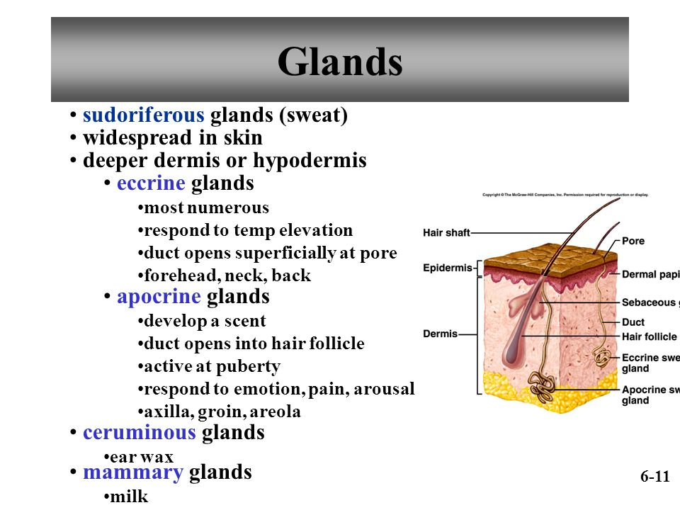Glands sudoriferous glands (sweat) widespread in skin