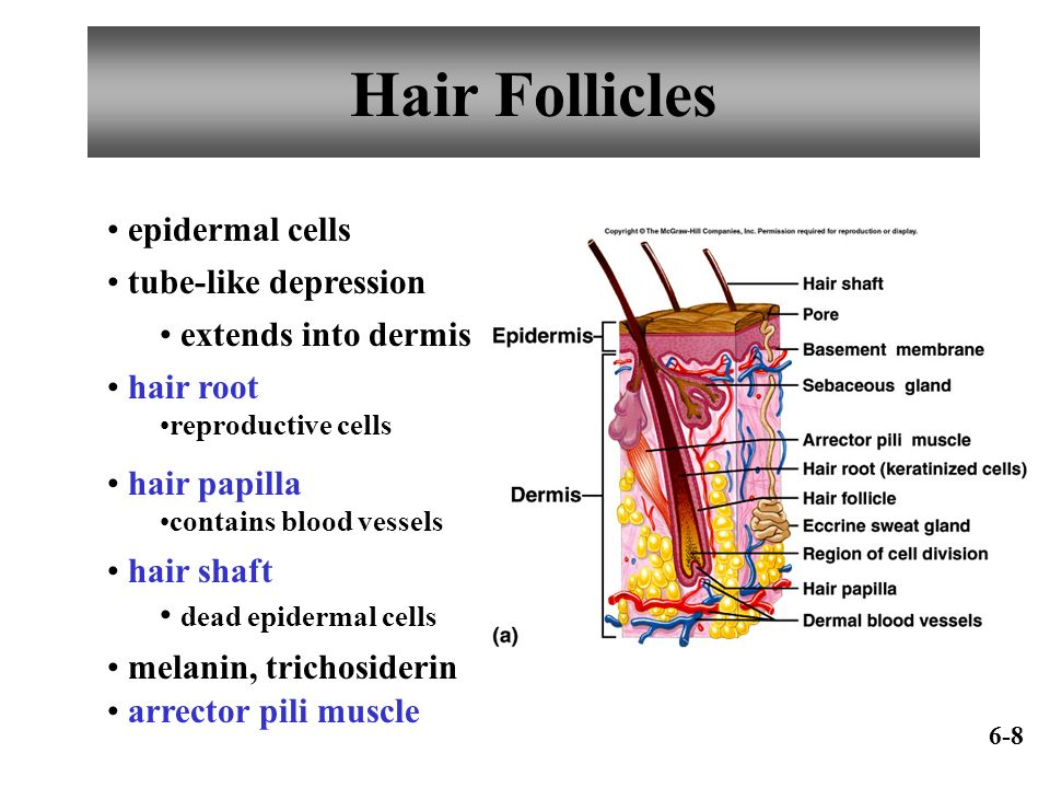 Hair Follicles epidermal cells tube-like depression