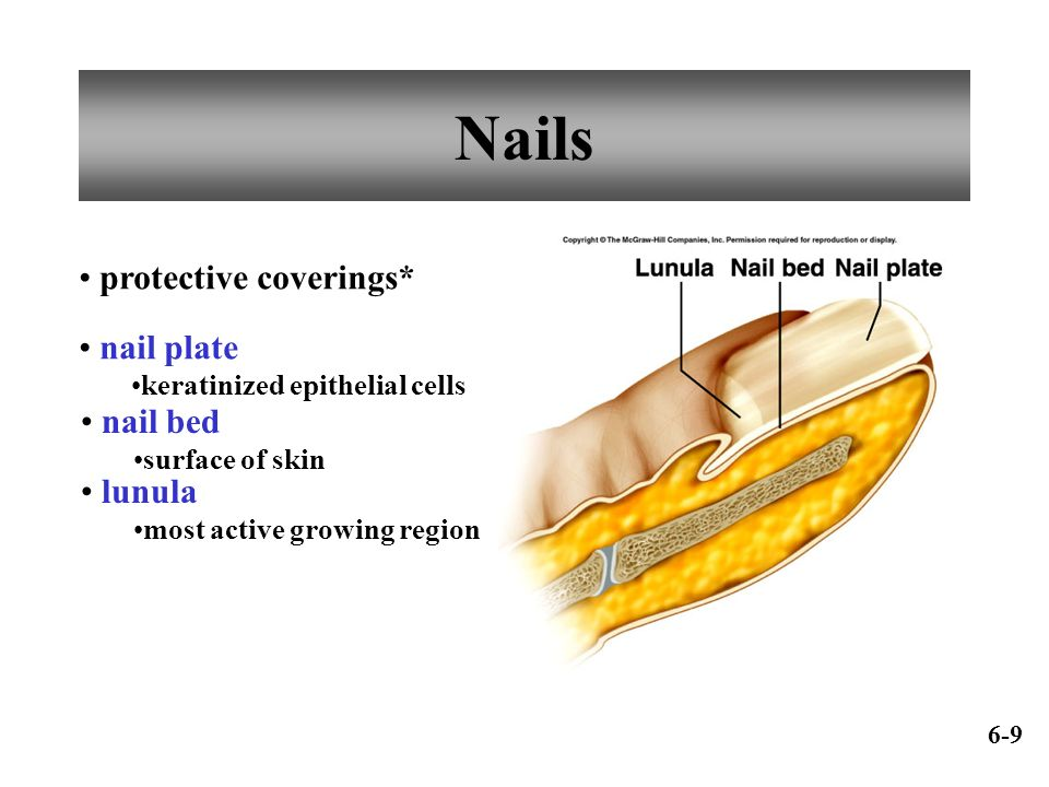 Nails protective coverings* nail plate nail bed lunula
