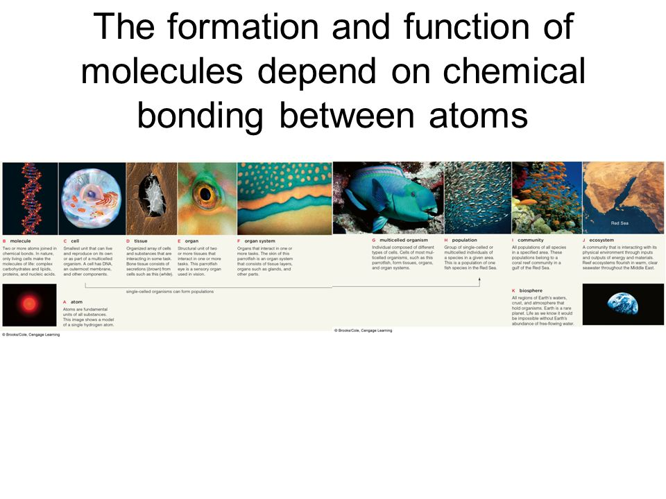 The formation and function of molecules depend on chemical bonding between atoms