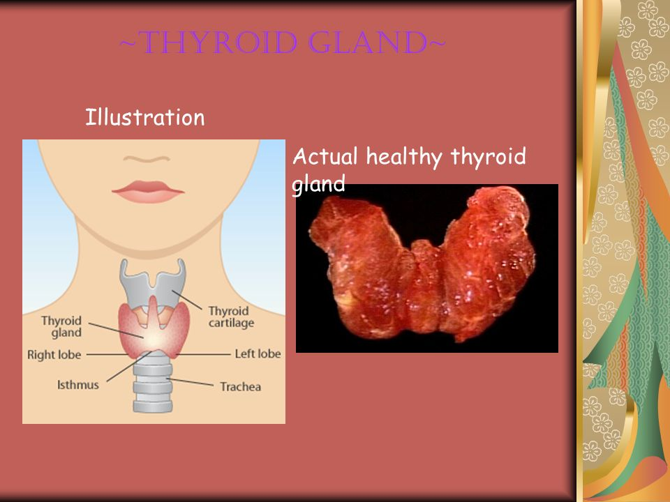 ~Thyroid Gland~ Illustration Actual healthy thyroid gland