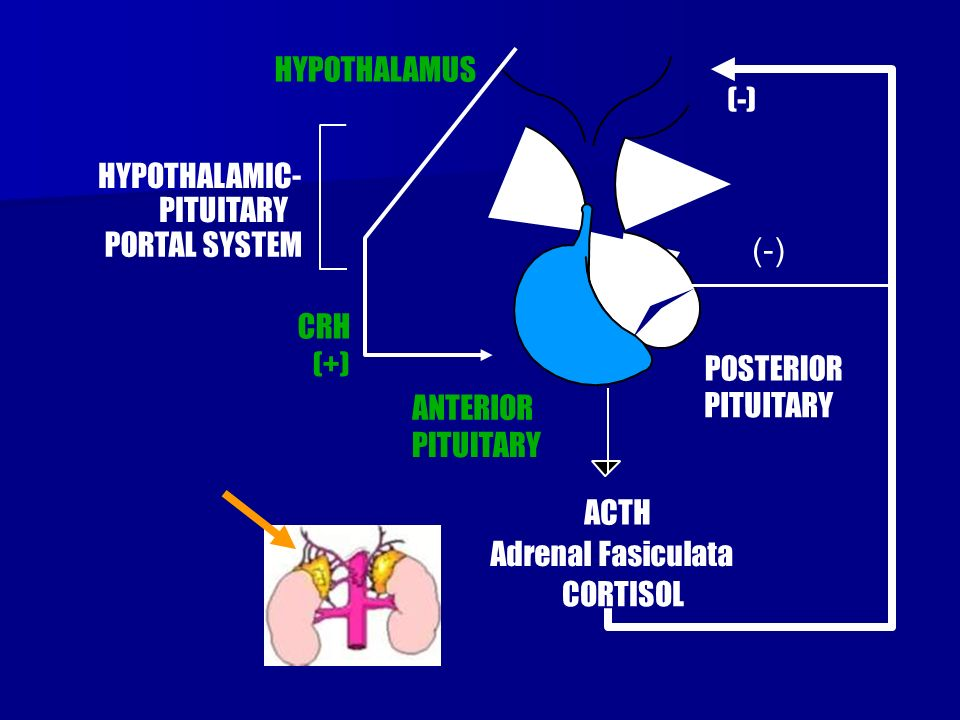 CRH HYPOTHALAMUS. HYPOTHALAMIC- PITUITARY. PORTAL SYSTEM. (-) (-) (+) POSTERIOR. PITUITARY.