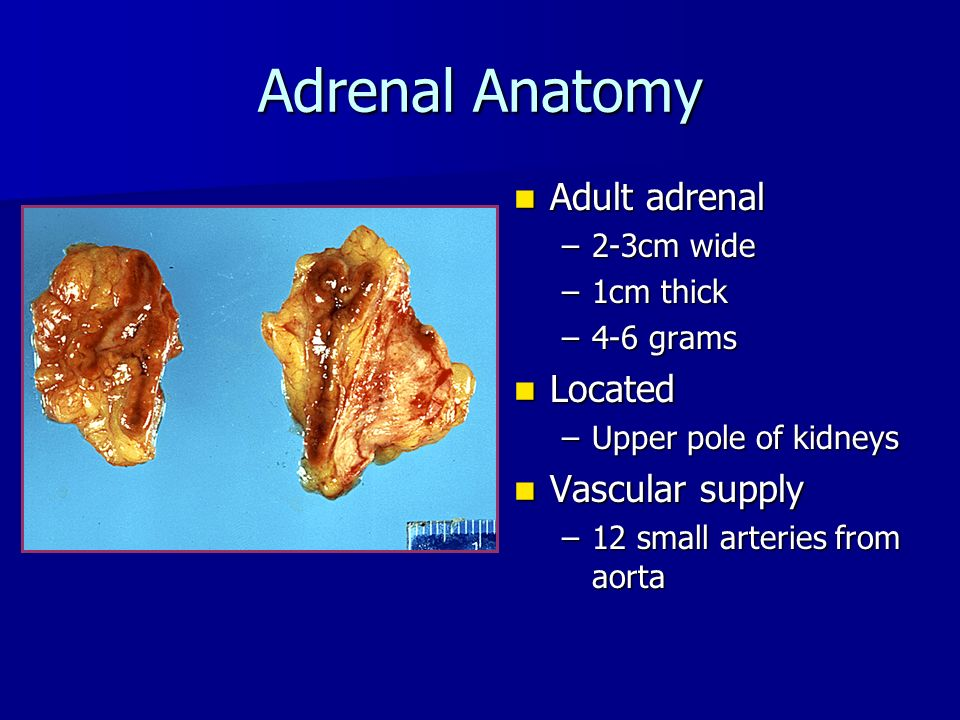 Adrenal Anatomy Adult adrenal Located Vascular supply 2-3cm wide