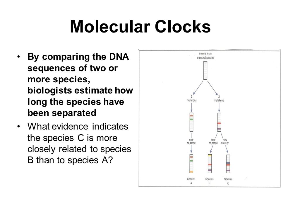 Molecular Clocks By comparing the DNA sequences of two or more species, biologists estimate how long the species have been separated.