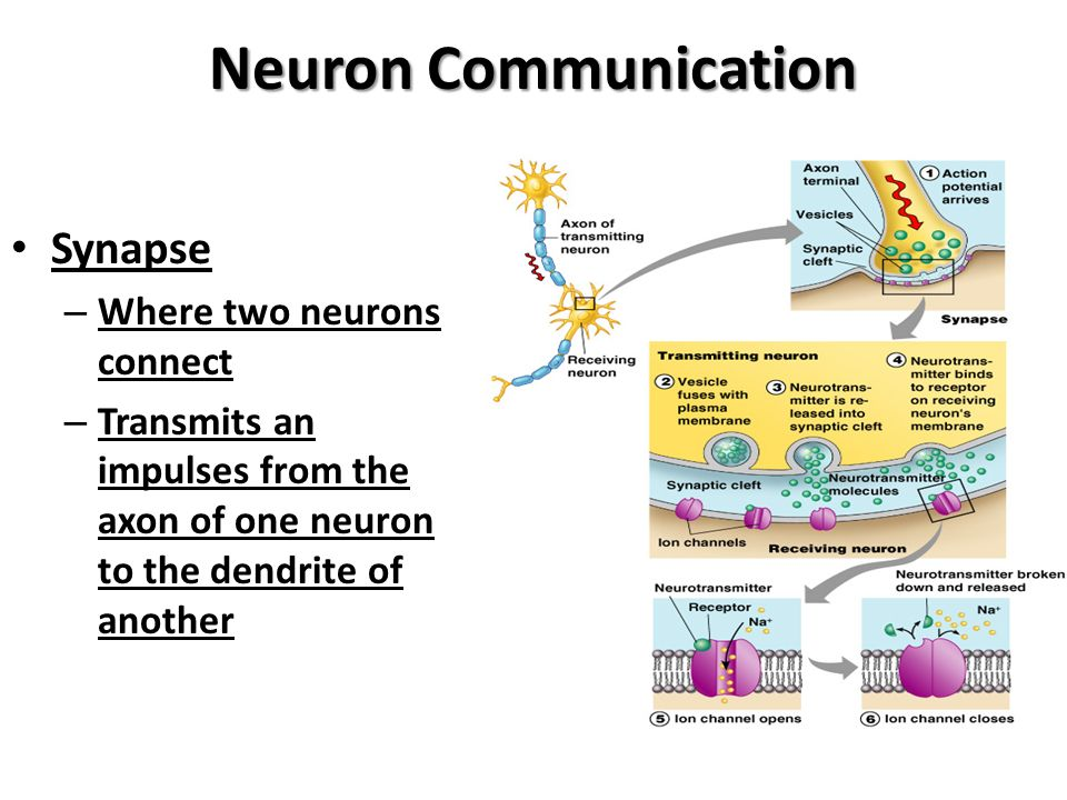 the communication process of neurons in the brain essay Messages travel throughout the body, and how the brain works with the nervous system to perform key functions 2 ask the students to guess how many neurons they think are in their bodies.