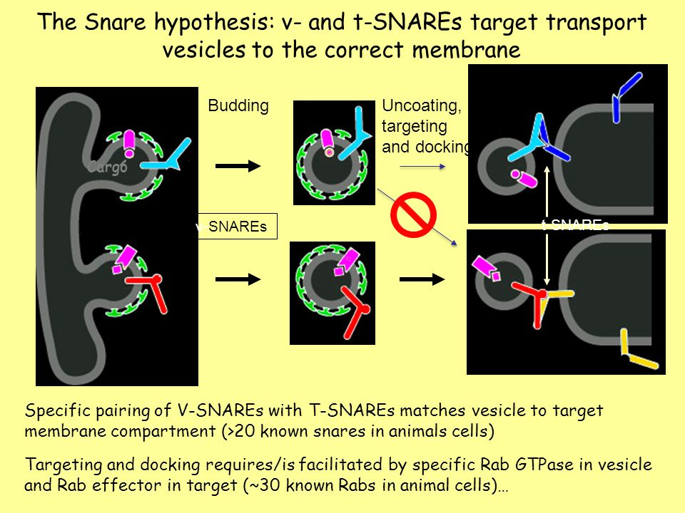 snare complexes and their important role The importance of this work in identifying snare complexes in immune function has culminated in a 2013 nobel prize in physiology or medicine to james e rothman, randy w schekman and thomas c südhof [4] [5.