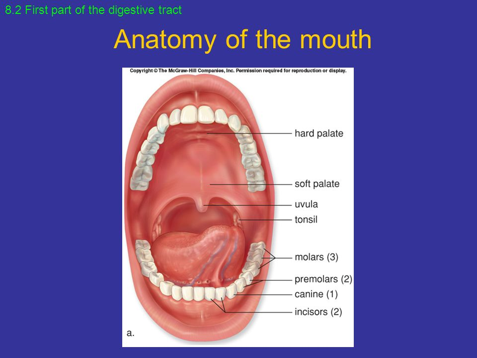 The mouth anatomy