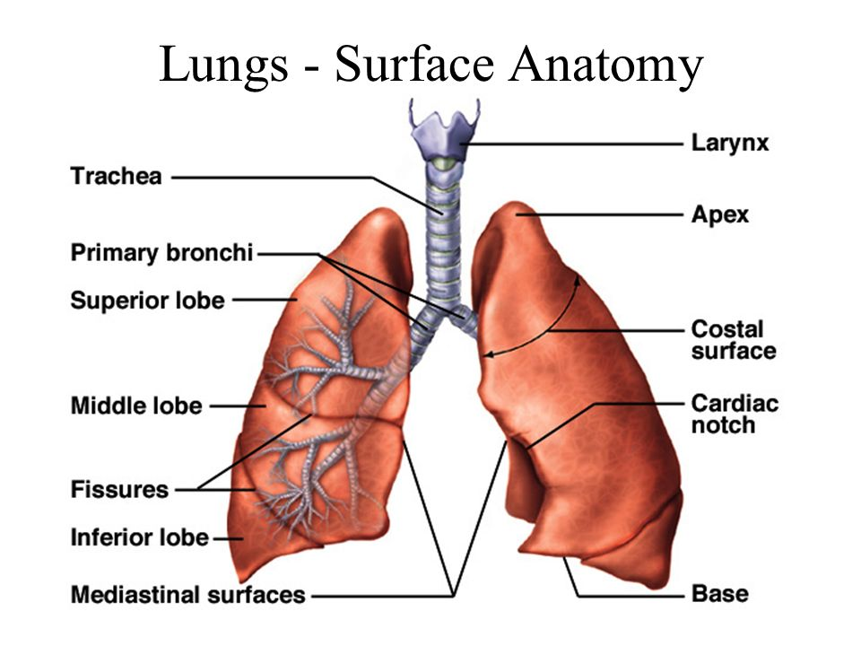 Lung fissure surface anatomy