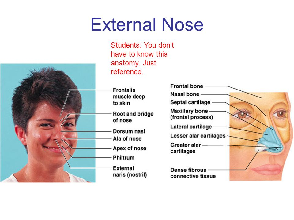External Nose Anatomy Traffic Club