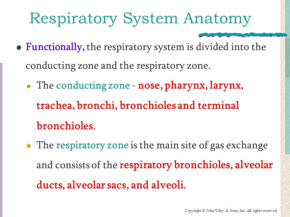The Respiratory System: Physiology - ppt video online download