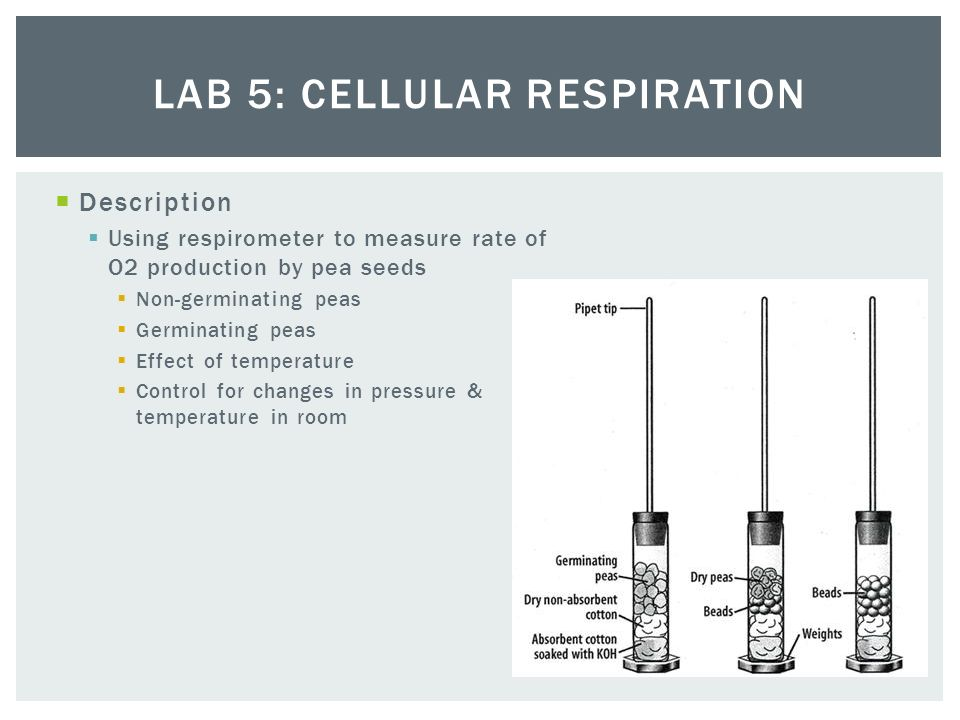lab 5 cellular respiration Cellular respiration is a lab that is often done in ap biology this worksheet follows a virtual module of the ap lab and asks students to answer questions as they progress through the virtual lab.