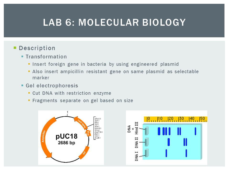 ap biology electrophoresis essay Ap biology molecular biology lab worksheet—electrophoresis/restriction enzymes 4-16-13 here is our schedule for friday's molecular biology lab.