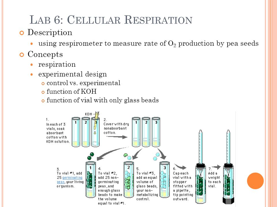 lab 6 cellular respiration Lab 5cellular respiration introduction: cellular respiration is an atp-producing catabolic process in which the ultimate electron acceptor is an inorganic molecule, such as oxygen it is the release of energy from organic compounds by metabolic chemical oxidation in the mitochondria within each cell.