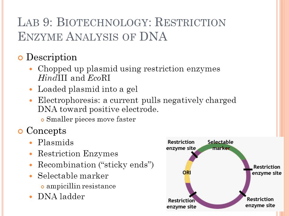 bacterial transformation plasmid isolation restriction digest biology essay Quantification of dna by agarose gel electrophoresis and analysis of the topoisomers of plasmid and m13 dna following treatment with a restriction endonuclease or dna.