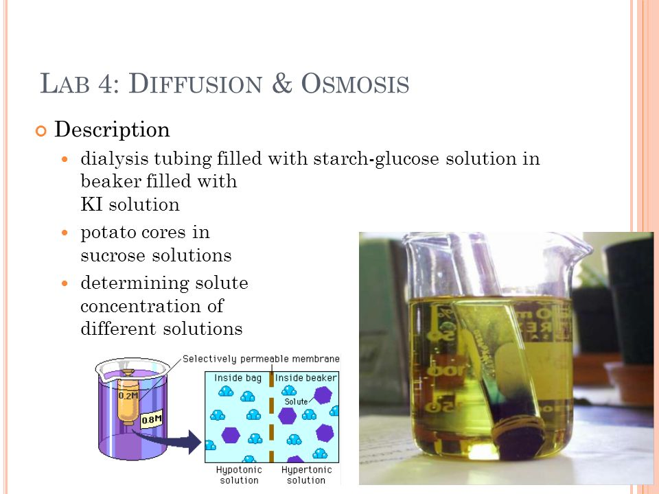osmosis with sultanas in sucrose solution One of the very common lab experiment on the topic of osmosis is using a sucrose solution (sucrose is cheap)  why is dialysis tubing impermeable to sucrose 3.