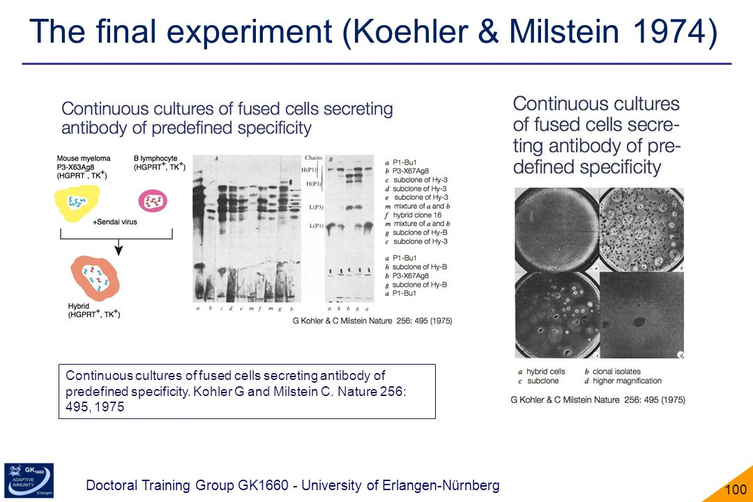 The final experiment (Koehler & Milstein 1974)