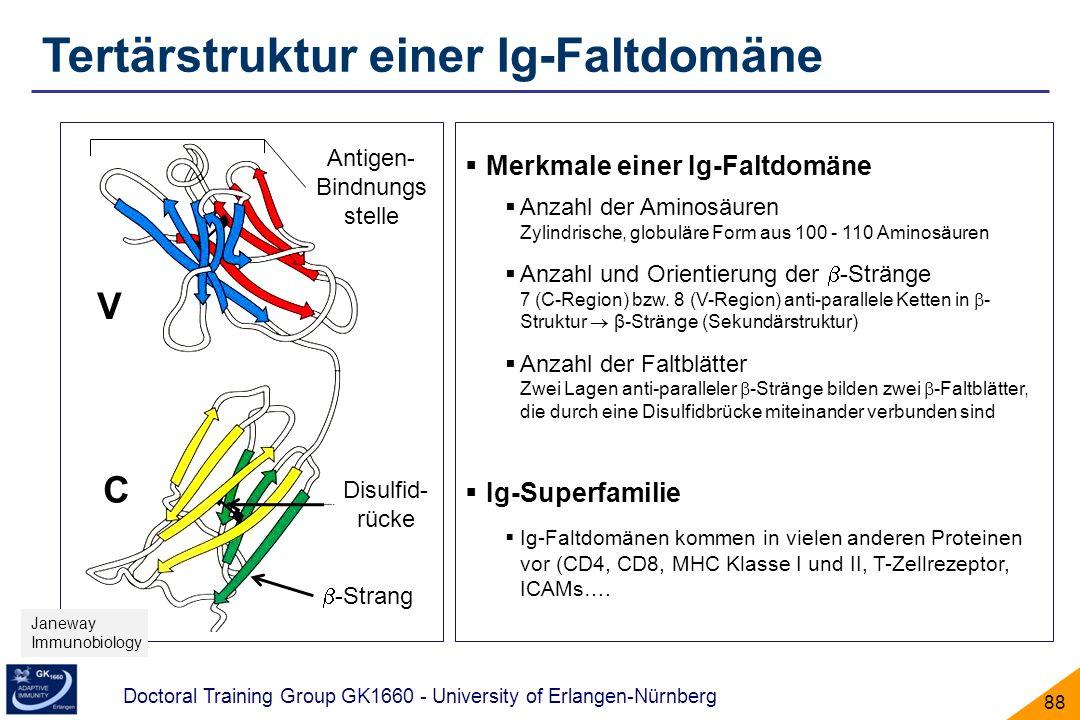 Tertärstruktur einer Ig-Faltdomäne
