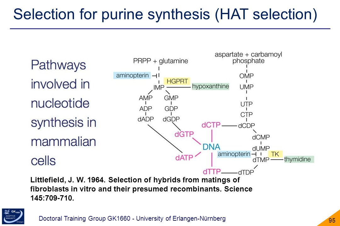 Selection for purine synthesis (HAT selection)