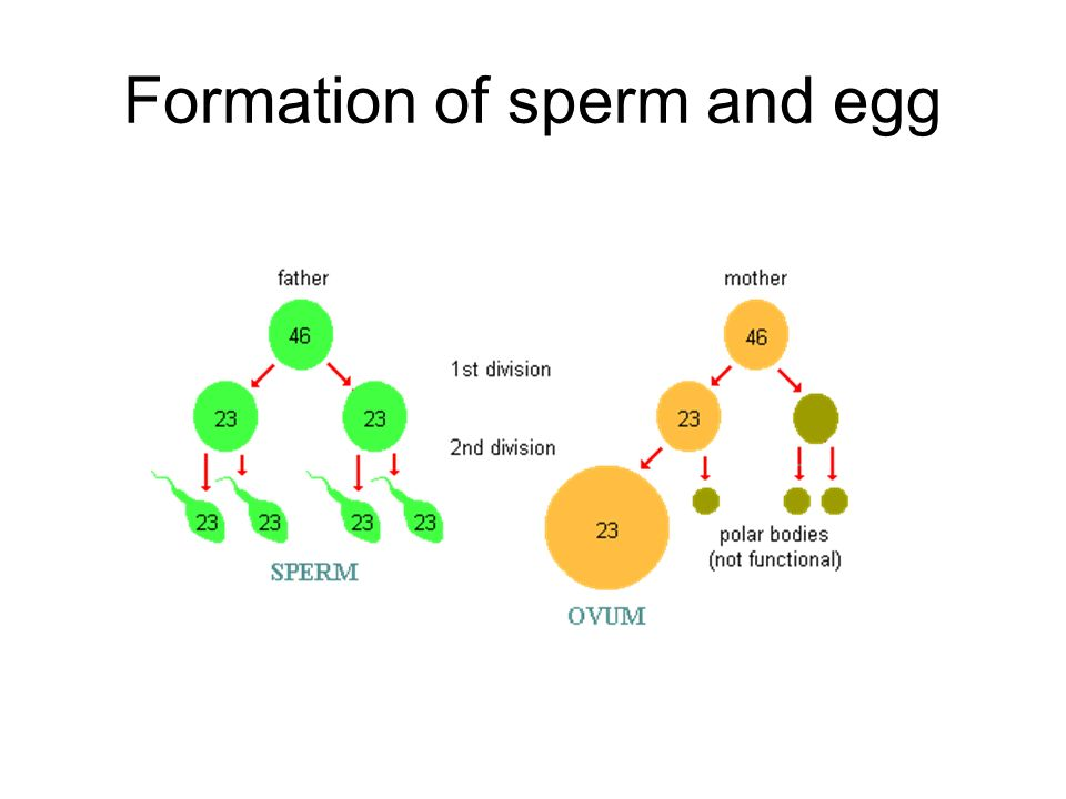 Formation of sperm and egg